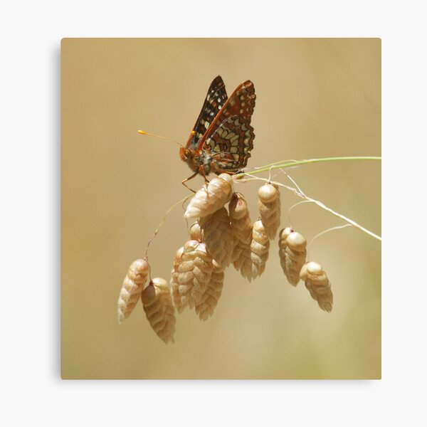 Checkerspot on grass Canvas Print
