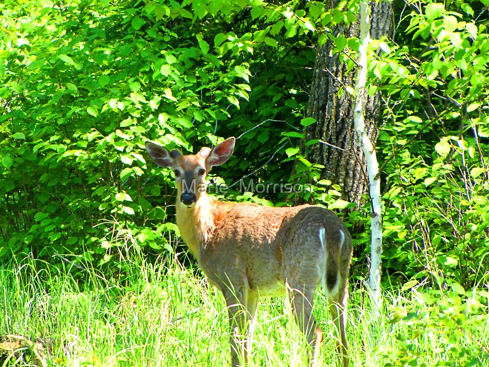WHITE TAILED  BUCK DEER  by Marie  Morrison