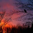 A great grey owl sunset by Jim Cumming