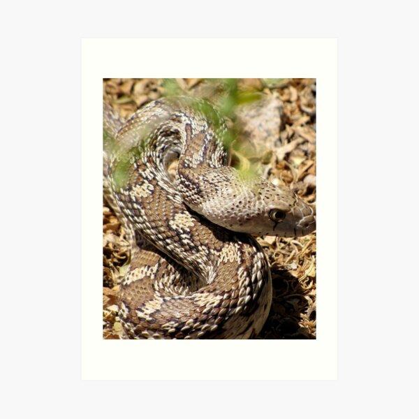 Gopher Snake Art Print