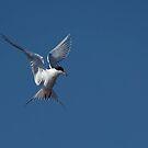 Tern bei HBSP von TJ Baccari Photography