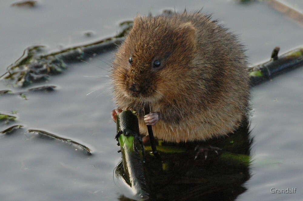 water vole eating up his greens by Grandalf