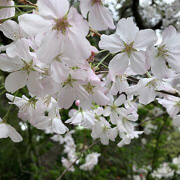 Spring - Sacura Blossom by agnessa38