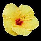 Yellow Hibiscus on Black by photosbypamela