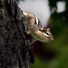 Chipmunk by Cheri Perry