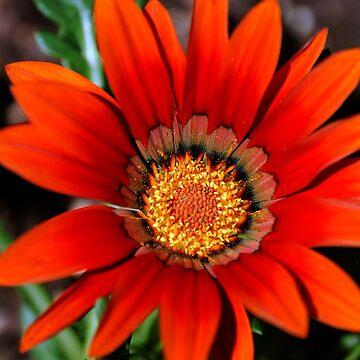 Burnt Orange Gazania by Stormygirl