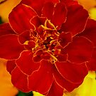 Marigold by M Tising