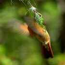 Berylline Hummingbird Gathering Nesting Material by K D Graves Photography