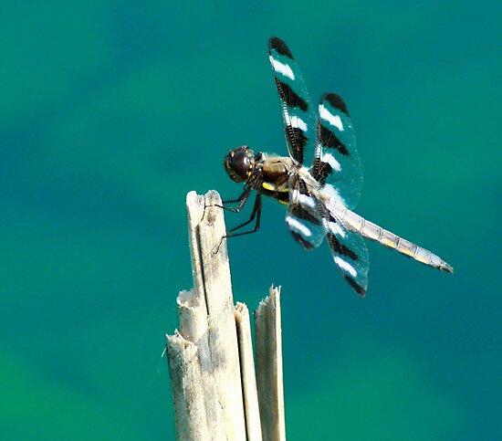 Twelve Spotted Skimmer by eaglewatcher4
