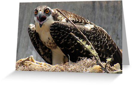 Mama Osprey protecting her nest by Kristy Dalpez