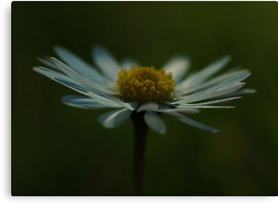 Macro - Daisy by smcneem