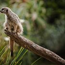 ~ meerkat ~  by Lisa Kenny