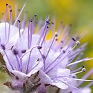 Lacy Phacelia Flower by Mariola Szeliga