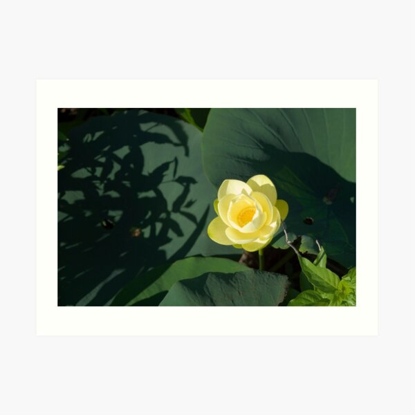 River Lotus Flower Art Print