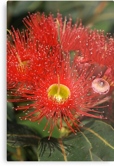 Eucalyptus flowers by Joy Watson
