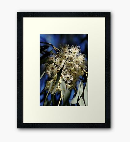 Flowering Gum Framed Print