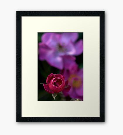 Rose Bud of Tro Framed Print