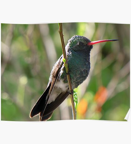 Broad-billed Hummingbird ~ Male Poster