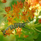 Swallowtail Caterpillar by Colleen Drew