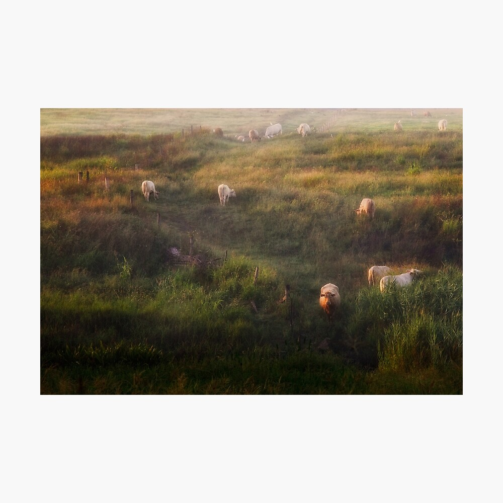 The cows Photographic Print