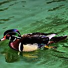 Wood Duck by Xcarguy
