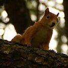 Squirrel from Friaul by Sturmlechner