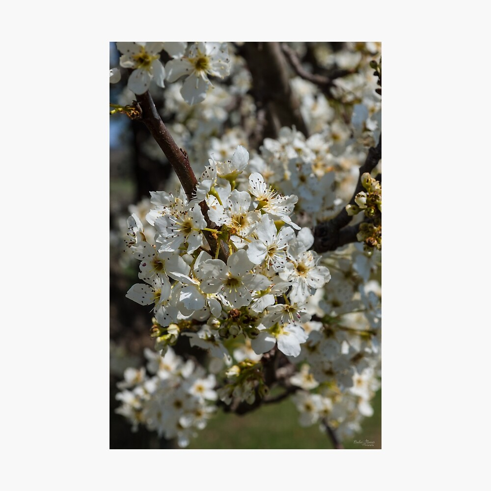 Bradford Blooms Photographic Print