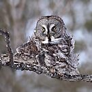 Great Grey Owl Squared by Gary Fairhead
