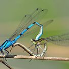 Mating Damselflies,  A Moment of Love by karuna