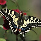 Swallowtail by FraserJ