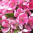 Pink Blossoms 2 by Martha Medford