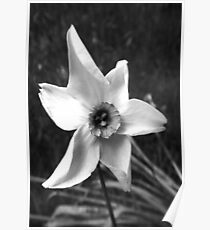 Narcissus Beauty Poster