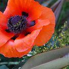 Pretty Poppy by Geraldine Miller