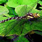 Perfect Landing Dragonfly © by Dawn Becker