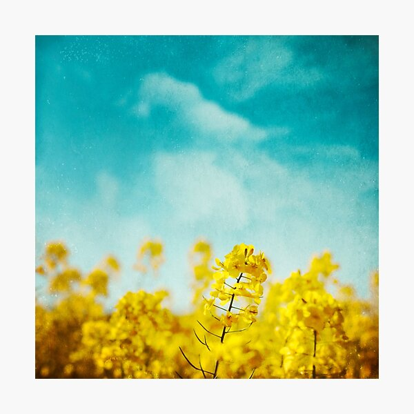 Spring Time - Blooming Rapeseed flowers Photographic Print