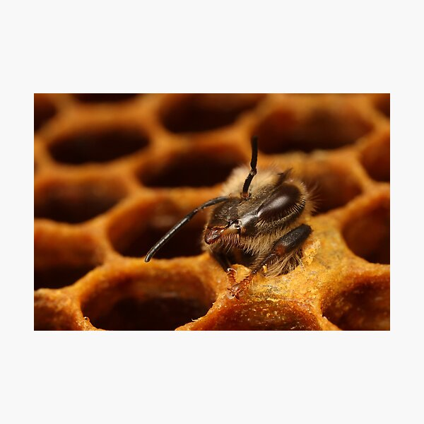 A female worker bee hatching from the bee hive Photographic Print