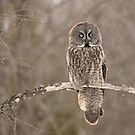 After the kill is gone - Great grey owl by Jim Cumming
