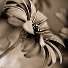 African Daisy Chocolate Style by Chrissie Taylor