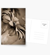 African Daisy Chocolate Style Postcards