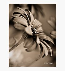 African Daisy Chocolate Style Photographic Print