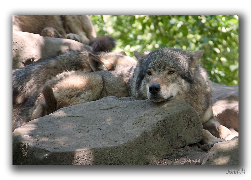 Siesta for Canis Lupus   by John44