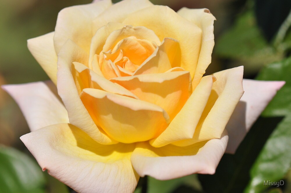 Buttercup Yellow Rose by MissyD
