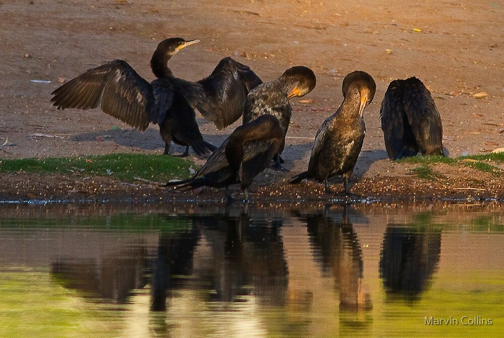 Coterie of Cormorants by Marvin Collins