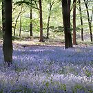 Bluebells, Green Trees - Hampshire by Kathy White