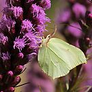Common Brimstone Butterfly by Maria Meester