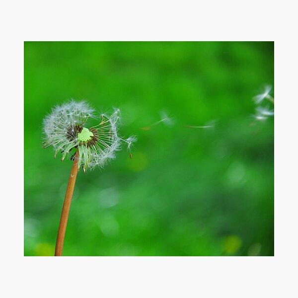 Dandelion Seeds Blowing Photographic Print
