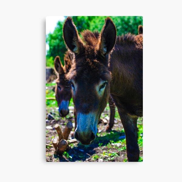 Sombre Looking Donkey Canvas Print