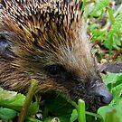 European Hedgehog by Johan  Nijenhuis