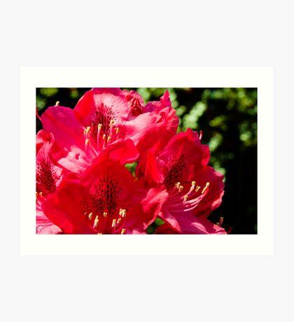 Rhododendron detail Art Print