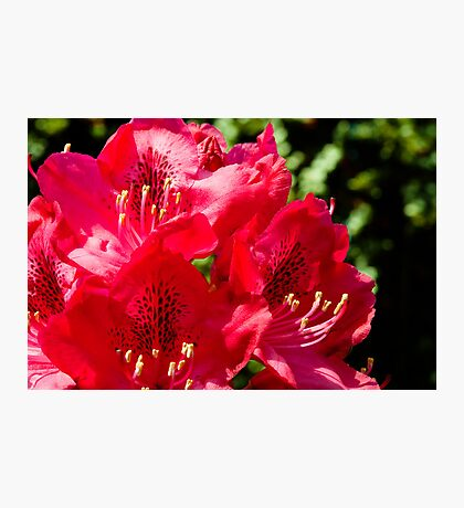 Rhododendron detail Photographic Print